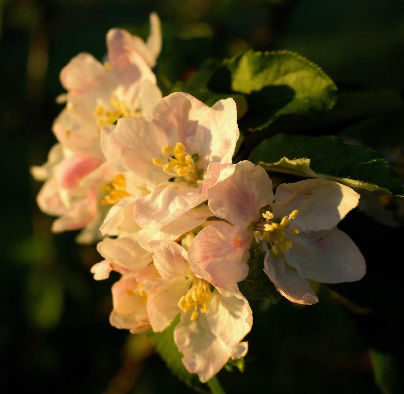 applemorning